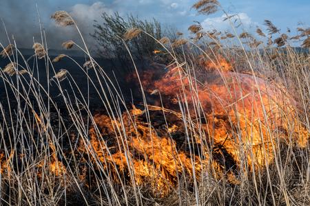 canne: Bruciare erba secca e canne. Archivio Fotografico