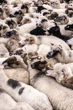 beast ranch: Flock of farm animal. Mixed herd of sheep and goat. Stock Photo