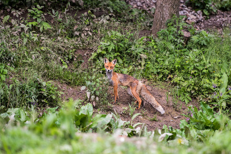 dodgy: European Red Fox.