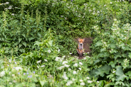 Red foxes in the wild nature, sits on the edge of the forest.