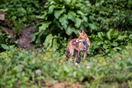 red fox: European Red Fox.