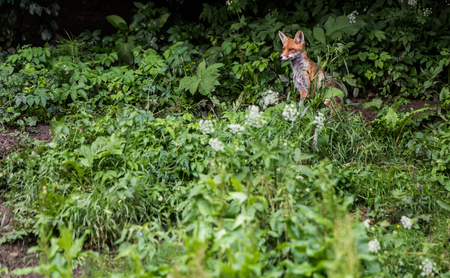 dodgy: Red foxes in the wild nature, sits on the edge of the forest.