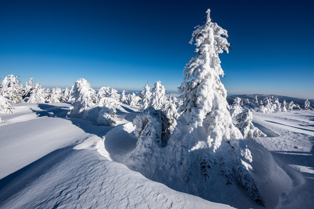 iciness: Snowy trees in East Carpathians mountains, Harghita region, Romania.
