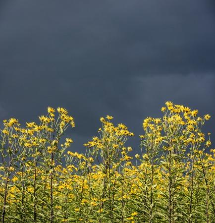 sunroom: Jerusalem artichoke, Also Called sunroom, sunchoke, earth apple or artichoke, is a species of sunflower.