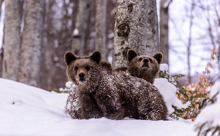 Bear in winter time. Bear bruin in the forest.