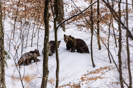 Bear in winter time. Bear family in the forest.