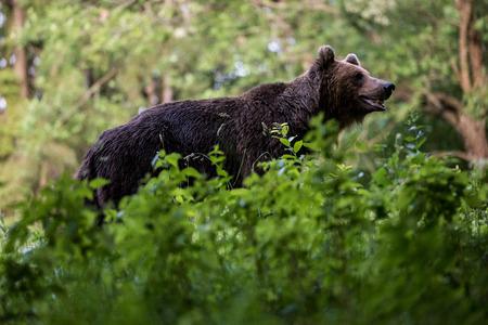 Wild brown bear (Ursus arctos).
