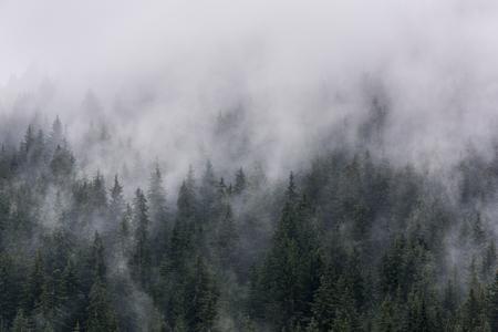 Dense pine forest in the morning mist.