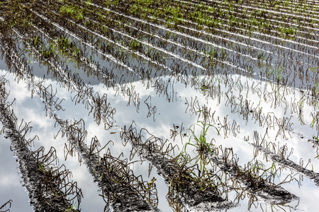 Flooded Potato Field. Agriculture ground after rain under water. Flooded agriculture fields. Stock fotó
