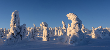 Winter panorama with snow covered firs in the background at blue hour.