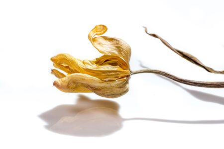 Dried tulip flower over white background. Withered flower.