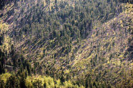 Deforestation, forest clearing. Pine tree forestry exploitation in the Carpathian Mountains of Romania.