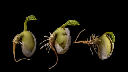 Different bean seeds germination isolated on black background. Bean seeds.
