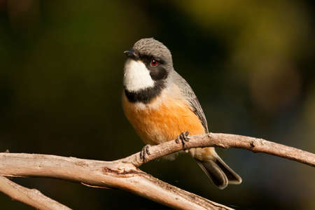 exuberant: The Rufous Whistlers outstandingly beautiful song is amongst the most joyously exuberant of all Australian birds.