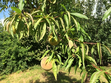 peach tree: Peach tree in garden Stock Photo