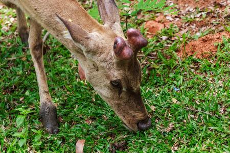 land mammals: Hog deer
