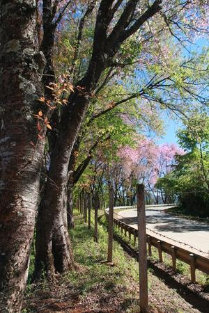 natual: thai sakura tree