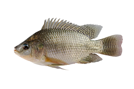 fresh Tilapia fish isolated on white background