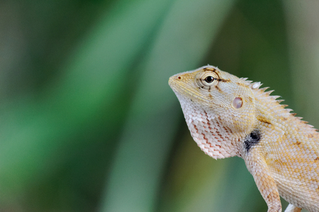 close up thai chameleon