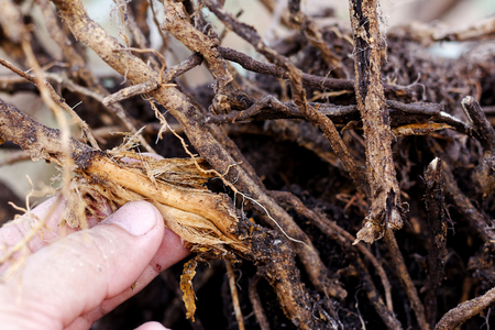 Hand hold Stripped tree root,foot and root rot which fungus is causing the problem