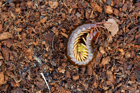 Centipede protecting eggs on Chopped coconut coir