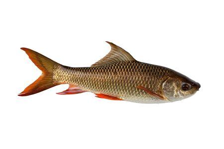 Labeo rohita fish isolated on white background 版權商用圖片