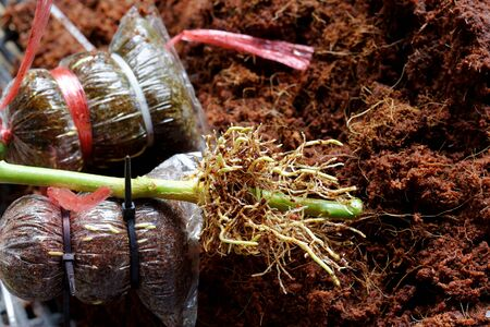 Root from grafting lime tree by Coconut coir cover branch and Strap with cable tie