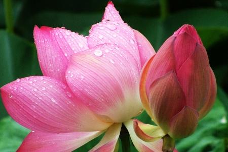 Fresh pink lotus flowers  photo
