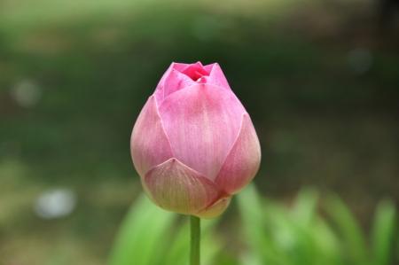 Budding pink lotus photo