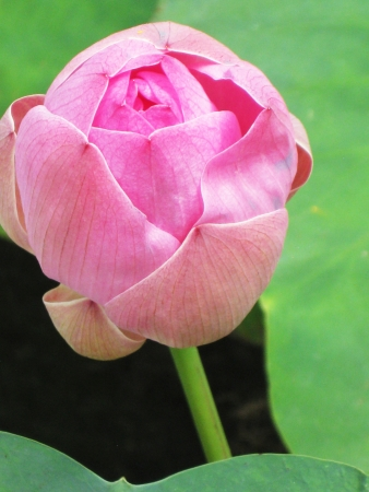 Pink lotus flower - top view photo