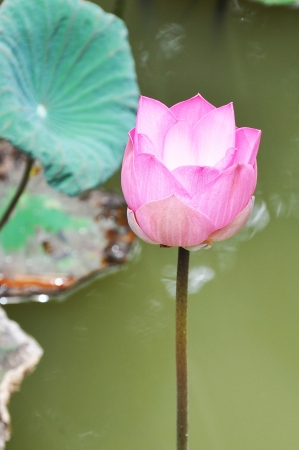 Blooming pink lotus  photo