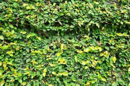 creeping fig: Creeping fig  or climbing fig  plant on the wall