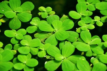 Water lettuce plant (or Pistia stratiotes) photo
