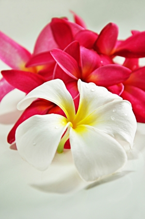 Beautiful Frangipani flowers photo