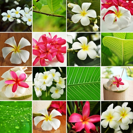 Set of beautiful Frangipani flowers photo