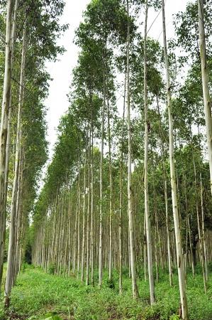 agricultural life: Eucalyptus trees Stock Photo