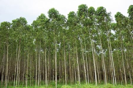 Eucalyptus trees photo