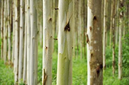 convergence: Eucalyptus trees Stock Photo