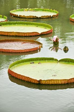 Victoria Amazonica photo