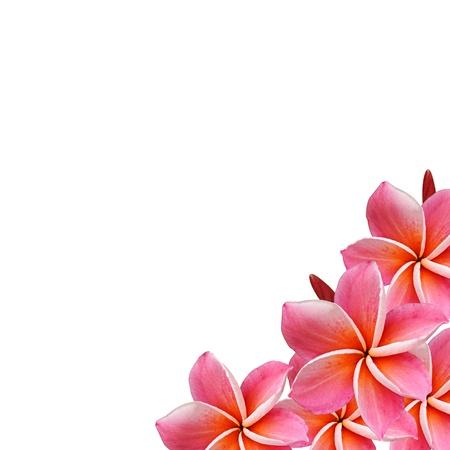 plumeria on a white background: Beautiful Frangipani flowers  - border design