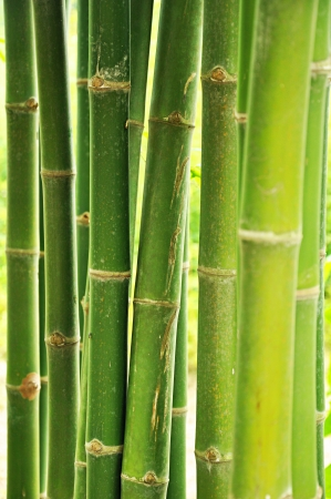 Fresh green bamboo tree photo