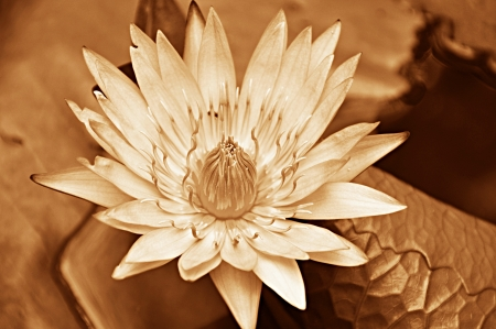 water lilly: Lotus flower - sepia