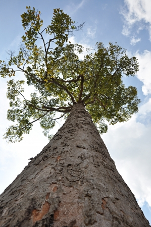 view from below: Big tree - looking up angle Stock Photo