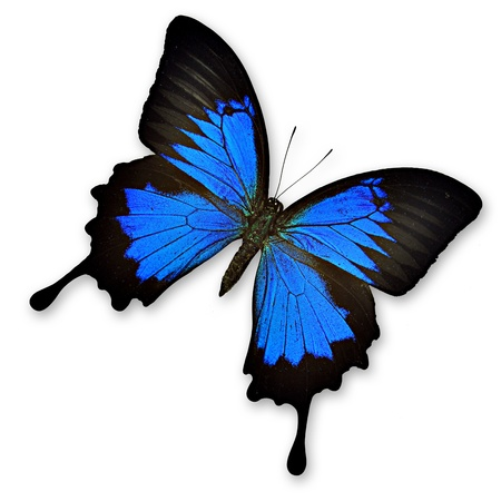 mariposa azul: Mariposa negro y azul sobre fondo blanco ampelius Papilio ulysses-