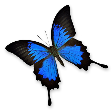 navy blue background: Black and blue butterfly on white background- Papilio ulysses ampelius
