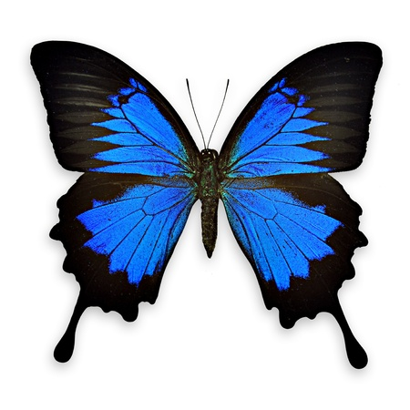Black and blue butterfly on white background- Papilio ulysses ampelius Stock Photo - 17017107