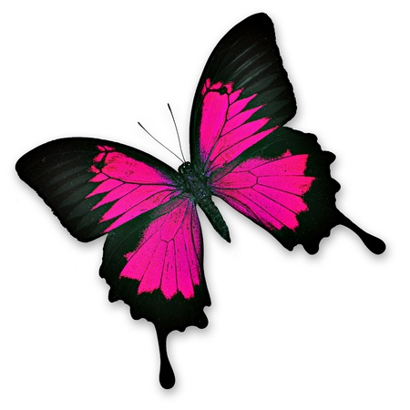 pink butterfly: Colorful pink butterfly on white background - Papilio ulysses ampelius