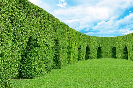 ornamental shrub: green dwarf tree wall