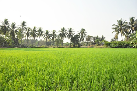 Rice field scenery in countryside of Thailand