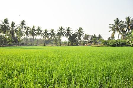 arroz blanco: Rice paisaje de campo en zona rural de Tailandia